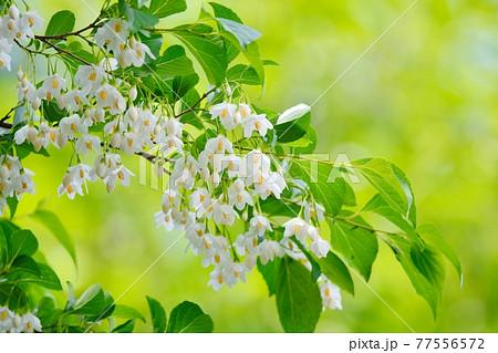 エゴノキの白い花 77556572