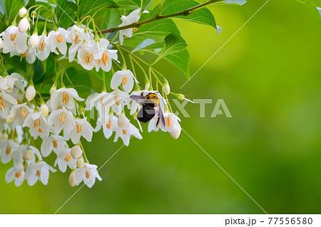 エゴノキの白い花とクマバチ 77556580