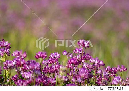 春の野原のレンゲソウ 77563854