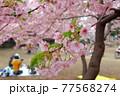 林試の森公園の河津桜 77568274