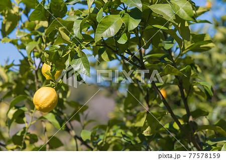 【小田原市石橋のミカン畑でレモンも栽培】 77578159