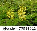 鮮やかな黄色い目立つジャケツイバラ 77586012