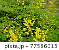 鮮やかな黄色い目立つジャケツイバラ 77586013