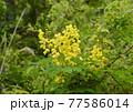 鮮やかな黄色い目立つジャケツイバラ 77586014
