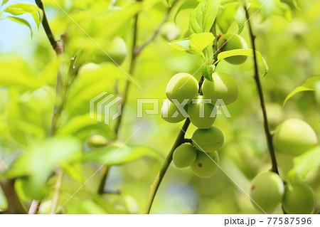 梅の実 77587596
