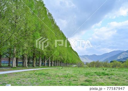 新緑のメタセコイヤ並木の情景@滋賀 77587947