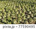 田舎の風景 白菜の畑 77590495