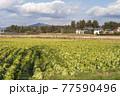 田舎の風景 白菜の畑と山 77590496