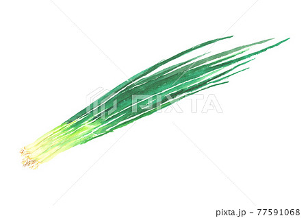 水彩で描いたねぎのイラスト 77591068
