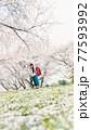 桜と小学校新一年生 77593992