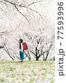 桜と小学校新一年生 77593996