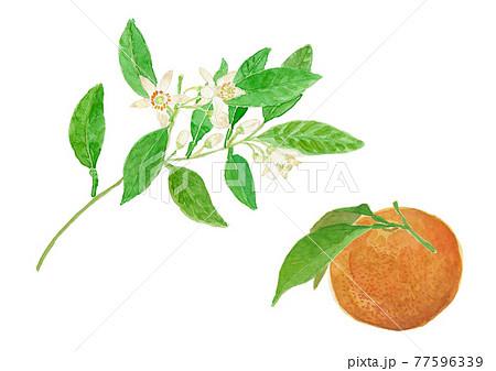 Citrus natsudaidai  夏みかんの花と実  77596339
