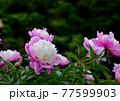 豪華でエレガントな芍薬の花 77599903