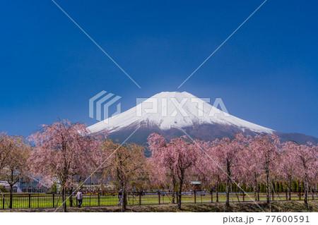 (山梨県)枝垂れ桜咲く、花の都公園から富士山 77600591