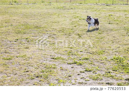 広いドッグランを走る犬 77620553