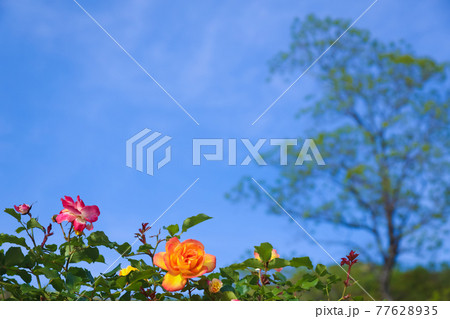 バラの季節 青空のチャールストン 77628935