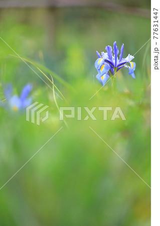 春の柔らかい日差しに揺れる凛と咲くアイリス 77631447
