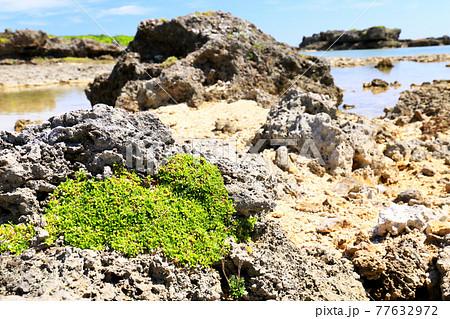 沖縄の海岸植物 イソフサギ 77632972