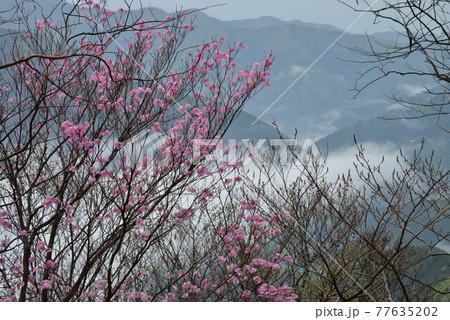 雲海とアケボノツツジ1(徳島県美馬市木屋平) 77635202