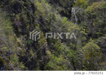 ミツバツツジ群生と滝(徳島県美馬市木屋平) 77635251