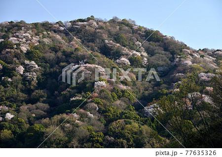 雲附山の山桜2(香川県さぬき市) 77635326