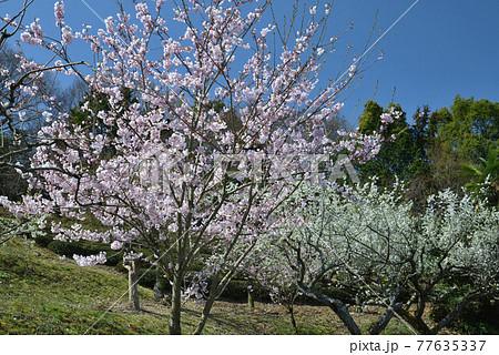 桜とすもも(香川県高松市塩江町) 77635337