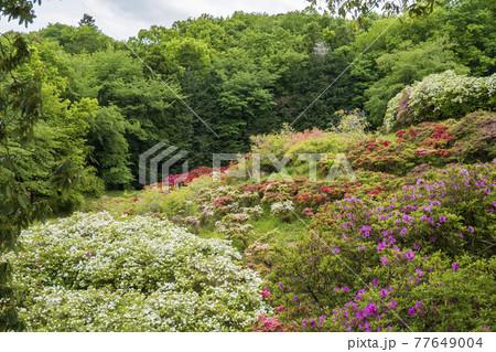 斜面に咲く多種の躑躅/五大尊つつじ公園(埼玉県越生町) 77649004