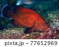 アザハタの若魚 77652969