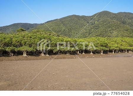 奄美大島の風景 マングローブの森 マングロブ原生林と住用川 黒潮の森 77654028