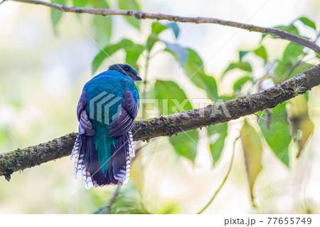 コスタリカの森の中で美しい姿を見せたカザリキヌバネドリ 77655749