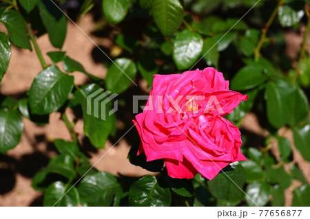ピンク色が凄く鮮やかなガーデンローズ 77656877