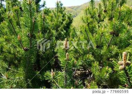 緑の松の木 77660595