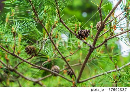 松の木の花 松ぼっくり 77662327