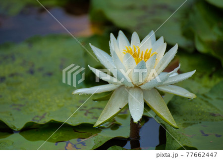衆楽園の池に咲いている一輪の白いスイレンの花のアップ 岡山県津山市 77662447