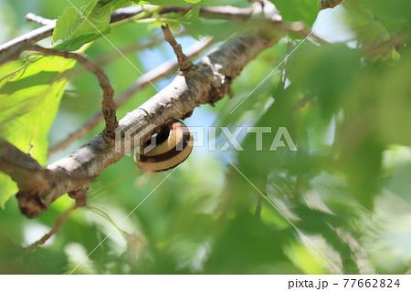 枝にくっついて乾燥を避けるカタツムリ 77662824