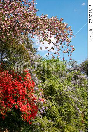 群馬フラワーハイランドのツツジと桃の花と藤の花 77674818