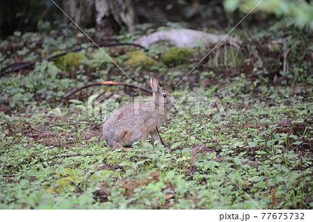 野生動物【ニホンノウサギ】 77675732