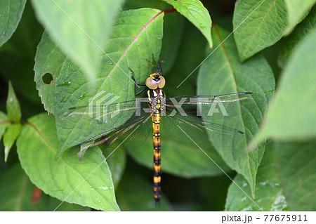 羽化後間もないヤブヤンマ(藪蜻蜒)の♀ 77675911