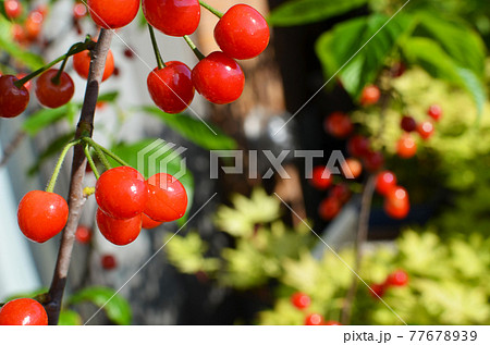 マンションのベランダで完熟の食べ頃サクランボ ピカピカの果実 77678939