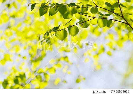 新緑(カツラ) 77680905