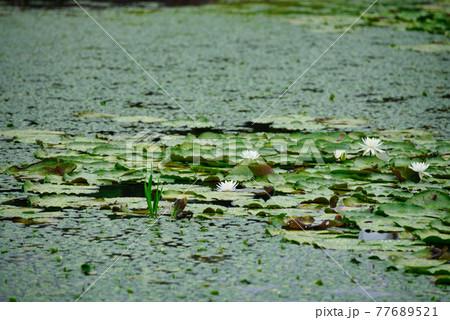 衆楽園の池一面に覆うスイレンと水草 岡山県津山市 77689521