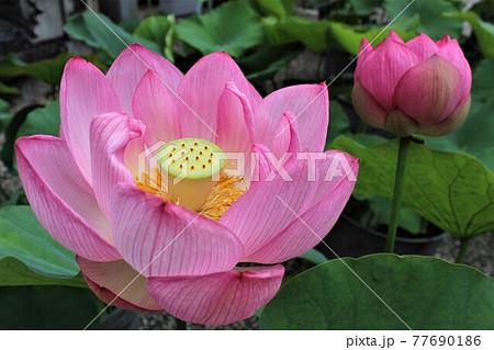 ハスの花びらの奥には倒円形の花托 77690186