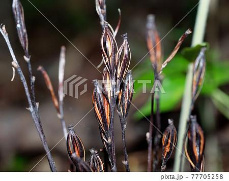 エンシュウムヨウランの古い花茎と果実 77705258