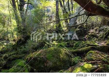 屋久島 静寂の森 77705899