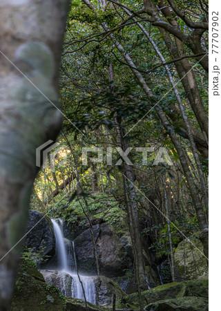 照葉樹林の森を流れる小さな滝。世界自然遺産屋久島 77707902