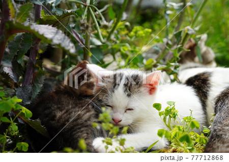 遊び疲れて仲良く寝落ちする野良猫の兄弟 77712868