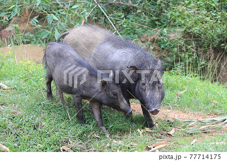 猪の親子 77714175