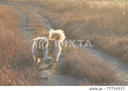 散歩しながら飼い主を気にするゴールデンレトリバー 77734337