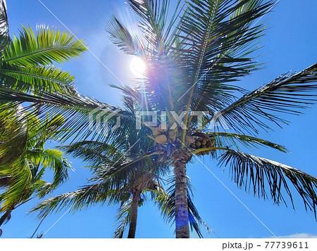 沖縄 石垣島のヤシの木、椰子の実 77739611