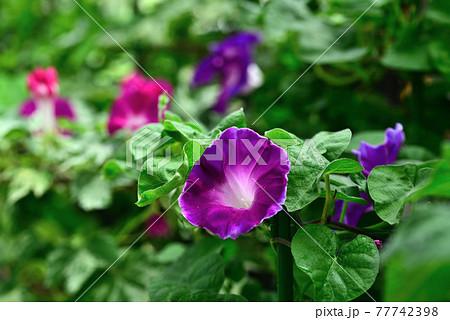夏のくらしの植物苑に咲いた朝顔 77742398